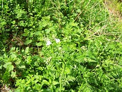 belegbild wilde moehre , NGID217732049 (naturgucker.de) Tags: daucuscarota naturguckerde wildemhre 915119198 11941622 chelmutschmidt ngid217732049