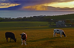 Sunset Rain Shower from Arran (g crawford) Tags: sunset orange rain weather yellow river shower scotland riverclyde clyde cow cattle cows sundown farm scottish sunsets farms showers arran crawford scots ayrshire ardrossan firthofclyde threetowns westkilbride ayrshirecoast threetowners