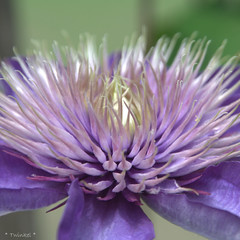 (*Twinkel*'s photostream) Tags: flower closeup garden clematis justcropped sooc