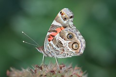 American Painted Lady (DrPhotoMoto) Tags: butterfly northcarolina richmondcounty vanessavirginiensis americanpaintedlady