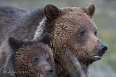 Mama Grizzly and Cub (Explored) (Daryl L. Hunter - Hole Picture Photo Safaris) Tags: portrait closeup wildlife bears yellowstonenationalpark maternal motherdaughter grizzlybear grizzlybearcub grizzlybearsow mamagrizzly grizzlybeargrizzlycubgrizzlysowyearoldcubyellowstonegrizzybearyellowstonenationalparkyellowstonewyomingunitedstates