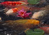 Water Lily and Carp (h orihashi) Tags: japan pond pentax hiroshima 日本 carp k5 広島 coth supershot impressedbeauty impressedbyyourbeauty flickraward crystalaward diamondclassphotographer flickrdiamond citrit excellentphotographerawards freenature natureselegantshots hatsukaichishi therubyawards pentaxk5 thesunshinegroup sunrays5 fireofyourart
