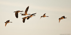 Canadian Geese (JoshBassett PHOTOGRAPHY) Tags: birds flying geese flock canadian goose formation v migration gander migrate