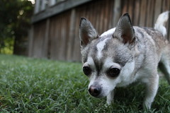 Reuben (mmcclure88) Tags: dog chihuahua canon toy curious t3 vicious