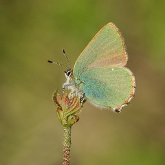 Green Hairstreak (Callophrys rubi) (DJLDorset) Tags: nature closeup butterfly wildlife sony insects h underside dorset greenhairstreak callophrysrubi alphaa700 davidlongshaw