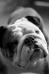 Chuck (Thiago Souto) Tags: brazil bw dog pet white black cute animal branco brasil sony pb bulldog preto sp cachorro abc englishbulldog alpha creature bicho chucknorris a77 α criatura cachorrinho animaldeestimação santoandré bulldoginglês bolão bichodeestimação flickraward α77