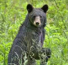 Black Bear (Lindell Dillon) Tags: bear nature canon wildlife hdr blackbear cadescove greatsmokymountainsnp flickraward worldhdr photocontesttnc12 reddirpics