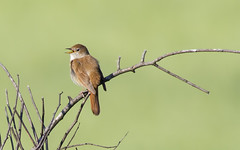 Nightingale /  (Panayotis1) Tags: nature birds canon aves greece animalia nightingale lusciniamegarhynchos passeriformes chordata luscinia  muscicapidae canonef400mmf56lusm imathia    66 tafros66 kenkopro300afdgx14x