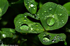 350/365 [365 Project] - Clover with Water Drops (Stefano.Minella) Tags: macro water rain weather photoshop canon project eos this is photo drops day with post absurd 33  days 100mm again 350 7d l production 365 usm clover f28 ef totally 2012 stefano lightroom the minella cs5 350th 350365