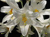 Lilium Candidum 2012. Azucena (Javier Garcia Alarcon) Tags: flowers flores flower flor azucena candidum lilum liliumcandidum liriodesanantonio