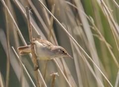 IMG_0089 Reed Warbler (Acrocephalus scirpaceus), Brandon Marsh, Warwickshire 22May12 (Lathers) Tags: brandon warwickshire reedwarbler acrocephalusscirpaceus nbw brandonmarsh canon7d wildinthemidlands wkwt 22may12
