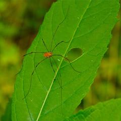 Island Insect (Mondmann) Tags: usa plant america insect island washingtondc spider leaf unitedstates wildlife vegetation potomac theodorerooseveltisland mondmann pentaxk5
