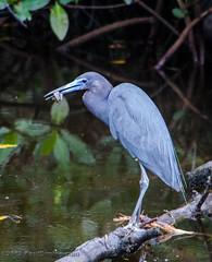 Little Blue Heron with Prey - Sanibel Island, FL (Paul Diming) Tags: bird heron birds us spring florida wildlife sanibel sanibelisland nationalwildliferefuge nwr littleblueheron jndingdarlingnationalwildliferefuge dingdarlingnationalwildliferefuge dingdarlingnwr d7000 pauldiming