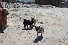 New Friends (reactor88) Tags: dog beach jasper pug malibu watson pup
