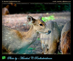 Indian Deer - Photo by Marshal.C.Radhakrishnan, INDIA (marshalbond007) Tags: india animal photography wildlife maan wildlifephotography animalworld animalkindom indiantourism indiandeerphotobymarshalcradhakrishnan