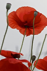Poppies, overexposed (mycologie) Tags: red canon newjersey flora nj poppy poppies tamron papaver mycologie dukefarms
