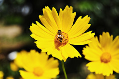 Yellow Cosmos Flower and Bee (e.nhan) Tags: flower macro nature yellow closeup dof bokeh bee cosmos enhan