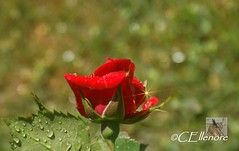 Rose im Regen  / rose at rain (3) (Ellenore56) Tags: light red inspiration color colour detail macro reflection rot rain weather rose diamonds botanical licht photo focus foto rainyday magic perspective drop diamond raindrops vista droplet imagination outlook moment sparkler makro magical farbe reflexion sunbeam sonnenstrahl rainfall regen raindrop sunray wetter perspektive reflektion tropfen diamant regentag augenblick fokus rainday floribunda botanik regentropfen trpfchen roseflower faszination rosenblte intherain rayofsunlight edelrose sonya350 rosepental ellenore56 31052012 diamaten 1rose2012 firstrose2012 pentalofroses kleinersonnenstrahl littlesunray