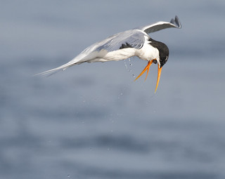 Mid-air Choking Tern