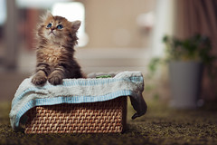 A Fresh Basket of Daisy (torode) Tags: cat persian kitten basket blueeyes towel daisy rug weave potplant towell