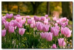 Pink Tulips (rjt208) Tags: park pink flowers trees birmingham tulips westmidlands perrybarr perryhallpark rjt208