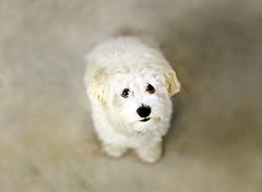 Howie (sprinkle happiness) Tags: dog maltese howie 2yearsold puppyish friendsdog