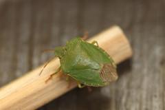 Kryp på penna (auzgos) Tags: veranda penna grön kryp prasina palomena bärfis stinkfly fotosondag fs120603