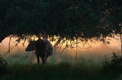 Au petit matin ( iolo ) Tags: sun france saint fog sunrise bay soleil f56 michel mont brouillard brume lever montsaintmichel leverdesoleil baie vains bassenormandie 18200mmf3556 195mm iso720 s  nikond7000 lrrouge