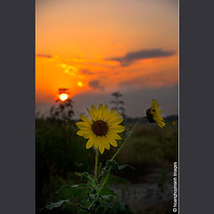 Sun And Sunflowers No.3 (HoangHuyManh images) Tags: copyright sun sunflowers greengroup dqu mygearandme mygearandmepremium mygearandmebronze mygearandmesilver mygearandmegold mygearandmeplatinum hoanghuymanhimages goldstarawardlevel3 ringexcellence dblringexcellence tplringexcellence tripleringexcellence theverybestpeoplechoice level4photographyforrecreation eltringexcellence theelitephotographerlevel3 theelitephotographerlevel4 thelooklevel3orange