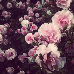Roses are red (soleá) Tags: pink flowers roses flores flower nature rose photography foto phone sweet flor natuur romantic nailpolish rosesarered romanticism naturesfinest romantisch floras soleá carmengonzalez naturepoetry