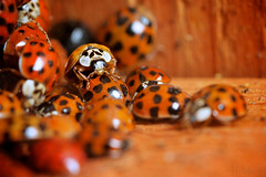 Loveliness (Jchales.co.uk) Tags: wood family red summer orange black hot macro weather out insect spring wings eyes warm colours group shed insects bugs 100mm collection bunch winged ladybirds essex catchy collective hibernate hibernation stops chelmsford canonef100mmf28macro jchalescouk jchales