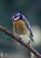 Blue Tit (Treflyn) Tags: uk blue wild bird work garden reading tit little desk wildlife united watching kingdom berkshire earley