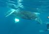 Swimming with humpback whales (Sallyrango) Tags: underwater dominicanrepublic snorkelling whale humpback mammals whalewatching humpbackwhales marinemammals underwaterphotography silverbank gopro whalesunderwater goprocamera
