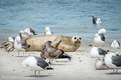 SURROUNDED (PHOTOGRAPHY|bydamanti) Tags: california gulls lajolla sealion sealbeach