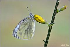 Pieris napi (alfvet) Tags: macro nature nikon ngc butterflies natura insetti farfalle sigma150 parcodelticino veterinarifotografi d5100