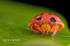 Ladybird-Mimic Spider (Paraplectana sp.) - DSC_8305 (nickybay) Tags: macro spider singapore ladybird ladybug mimic pasirrispark mimicking araneidae paraplectana