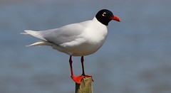 Mediterranean Gull 040516 (3) (Richard Collier - Wildlife and Travel Photography) Tags: birds wildlife gull naturalhistory british mediterraneangull britishbirds