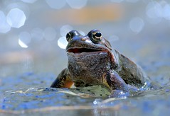 Italy, happy frog (Vittorio Ricci (thanks +++ 2.8 millions views)) Tags: ranatemporaria europeancommonbrownfrog ranarossa ranamontana ranaalpina