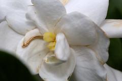 IMG_8663.CR2 (jalexartis) Tags: flowers flower spring fragrant bloom blooms shrub gardenia shrubbery