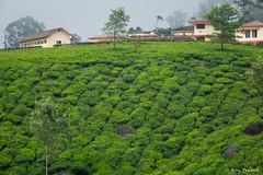 _DSC0941 (Roy Prasad) Tags: travel india workers tea harvest kerala hills prasad devan munnar kannan kannandevanhills royprasad