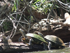 snuggling (ptcruiser4dogs) Tags: turtles lakehefner water reptiles okc lake green 405 turtle snapper tanning layingout sunbathe sunbathing