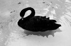 Cisne negro-Black Swan (Montse;-))) Tags: bird byn swan blackswan cisne cygnusatratus cisnenegro