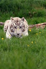 WHF: Narnia (Hybrid White Tiger) (Jasmine'sCamera) Tags: wildlifeheritagefoundation whf bigcats bigcat white whitetiger tiger