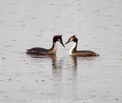 878 of 1096 (Yr 3) - Great Crested Grebes ready to, but not going to.. . (Hi, I'm Tim Large) Tags: two lake nature rain couple natural wildlife pair great somerset lovers hide 365 crested noahs grebe pairing 366 meare gcg ashcott