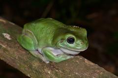 Green Tree Frog (Litoria caerulea) (shaneblackfnq) Tags: york tree green river iron north australia queensland tropical cape range far tropics lockhart caerulea peninsular fnq litoria shaneblack