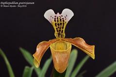 Paphiopedilum gratrixianum (Mauro Rosim) Tags: orchid flower flor terrestre terrestrial slipper orqudea sapatinho