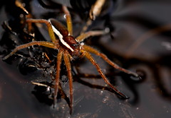 Juvenile raft spider in attack position (MonsterHangout) Tags: spider arachnid hunting hunter fangs predator invertebrate dolomedes fimbriatus