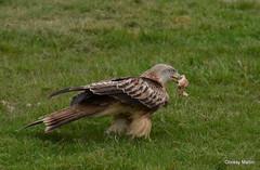 Red Kite (ChrissyM2) Tags: bird nature birds wildlife raptor raptors redkite redkites milvusmilvus
