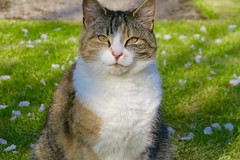 Mouse and Pip - May 2016 (lindseyinnes) Tags: summer cats pets cute floral cat cherry petals kitten blossom