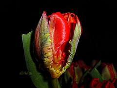 Parrot Tulip (abrideu) Tags: red plant flower macro bright outdoor ngc depthoffield npc tulip onblack parrottulip abrideu panasonicdmctz20 blackbackgroudbright